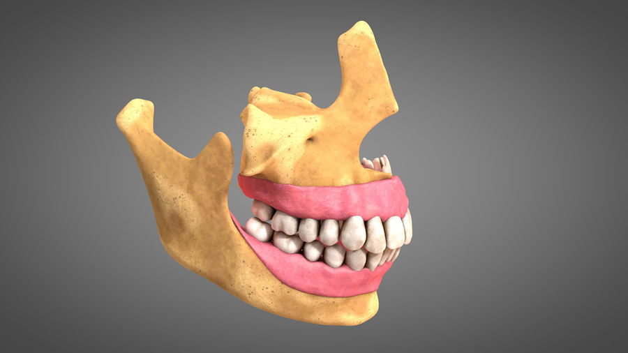 Human Jaws with Gums and Teeth royalty-free 3d model - Preview no. 4