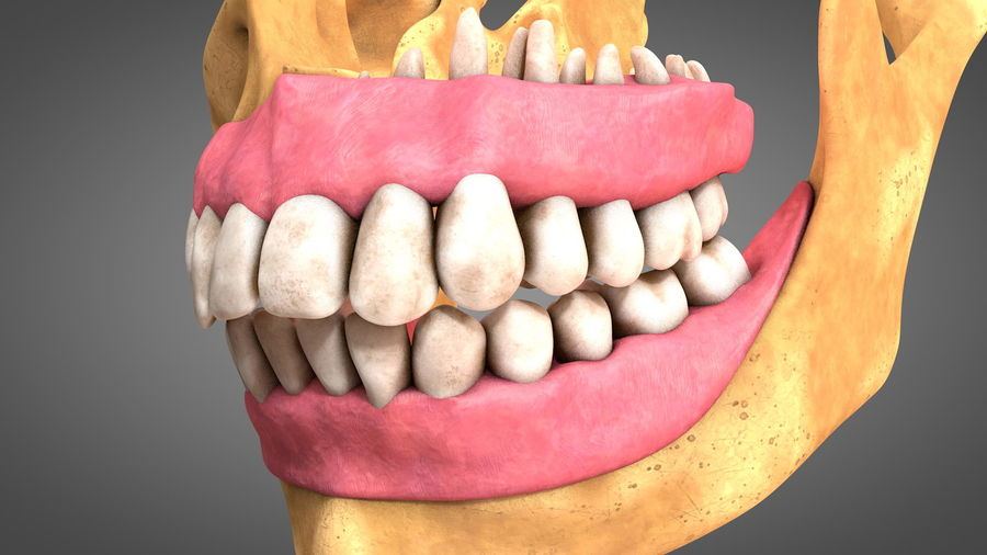 Human Jaws with Gums and Teeth royalty-free 3d model - Preview no. 14