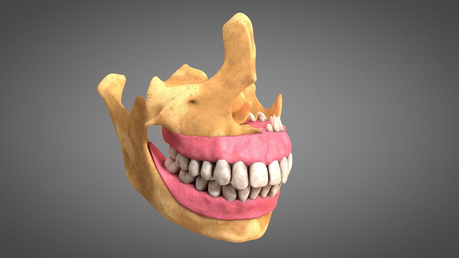 Human Jaws with Gums and Teeth royalty-free 3d model - Preview no. 3