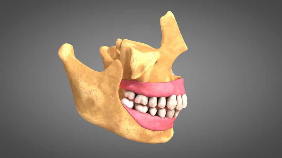 Human Jaws with Gums and Teeth royalty-free 3d model - Preview no. 5