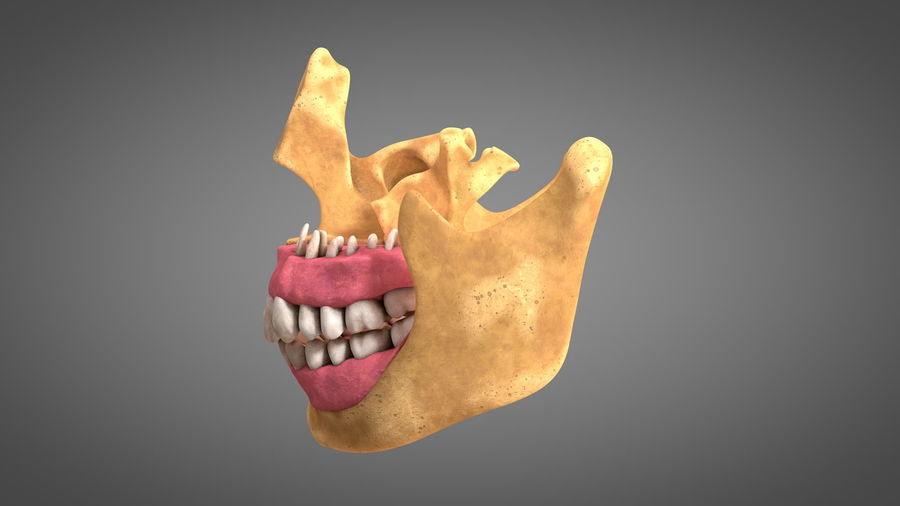 Human Jaws with Gums and Teeth royalty-free 3d model - Preview no. 9