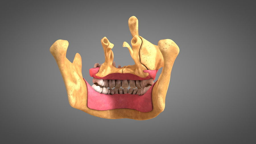 Human Jaws with Gums and Teeth royalty-free 3d model - Preview no. 7