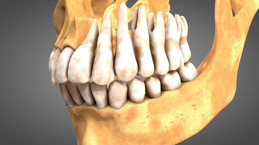 Human Jaws with Gums and Teeth royalty-free 3d model - Preview no. 15