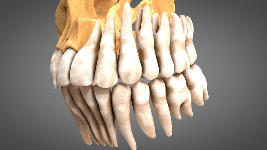 Human Jaws with Gums and Teeth royalty-free 3d model - Preview no. 16