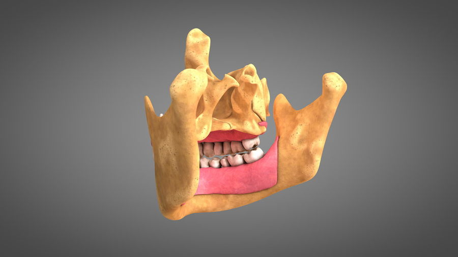 Human Jaws with Gums and Teeth royalty-free 3d model - Preview no. 8