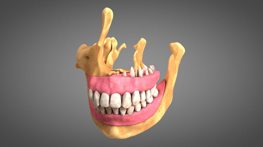 Human Jaws with Gums and Teeth royalty-free 3d model - Preview no. 11