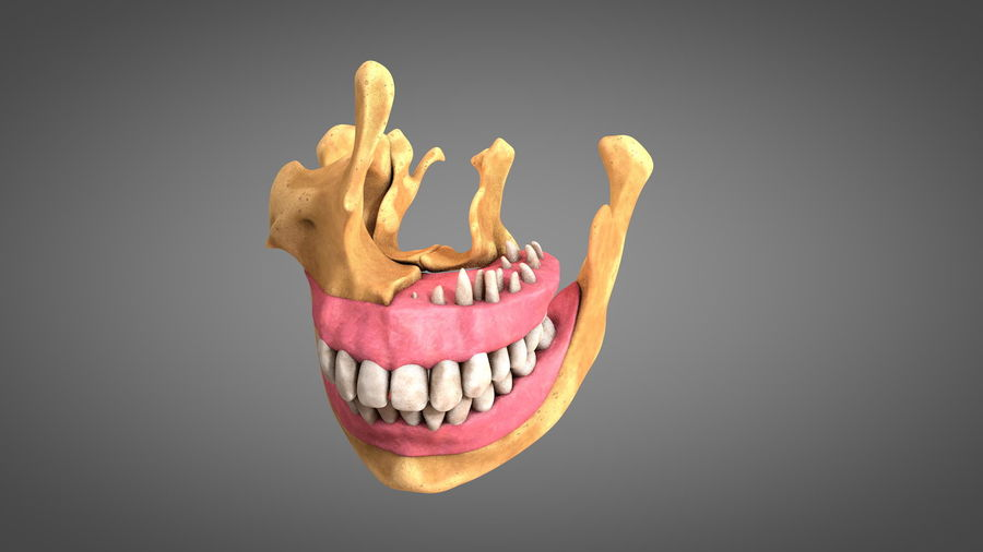 Human Jaws with Gums and Teeth royalty-free 3d model - Preview no. 1