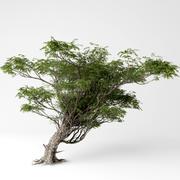 Acacia 3d model