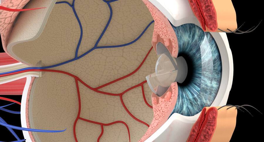 Eye Anatomy Section royalty-free 3d model - Preview no. 4