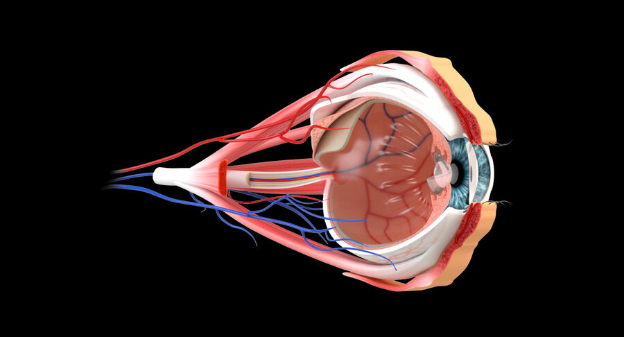 Eye Anatomy Section royalty-free 3d model - Preview no. 2