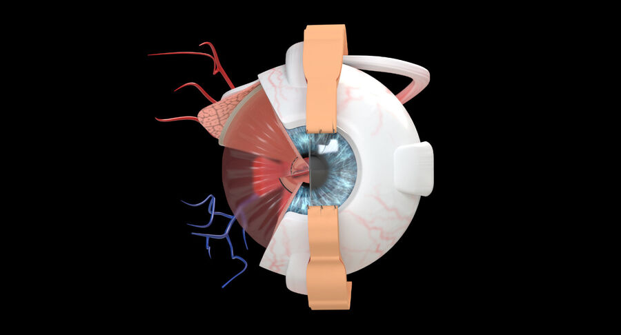 Eye Anatomy Section royalty-free 3d model - Preview no. 5