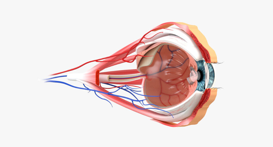 Eye Anatomy Section royalty-free 3d model - Preview no. 3