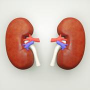 Anatomia człowieka nerki 3d model