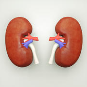 Kidney human anatomy 3d model