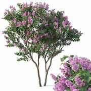 丁香,丁香寻常型#3树 3d model