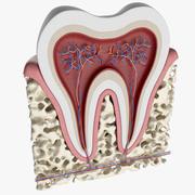 人間の歯の解剖学 3d model