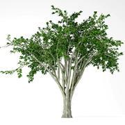 American elm 3d model