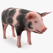 Model 3D Pig Piglet Pietrain 3d model
