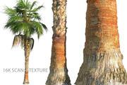 China Palm geanimeerde HD 3d model