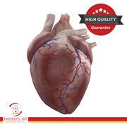 人的心脏详细 3d model