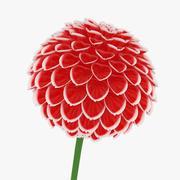大丽花(红色和白色) 3d model