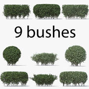 Boxwood (buxus) 3d model