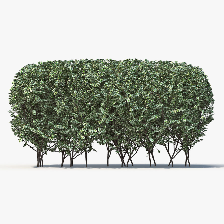 Boxwood (buxus) royalty-free 3d model - Preview no. 5