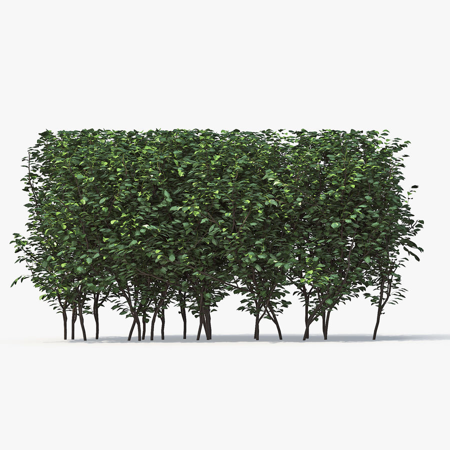 Boxwood (buxus) royalty-free 3d model - Preview no. 2