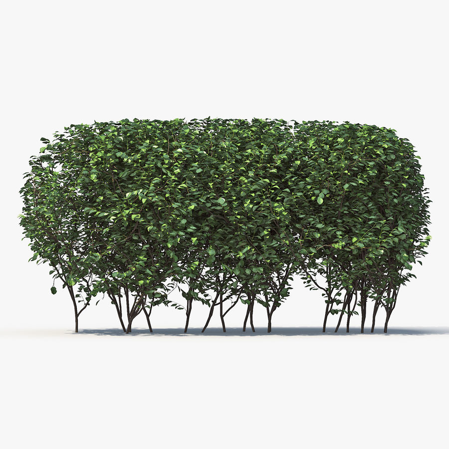 Boxwood (buxus) royalty-free 3d model - Preview no. 6
