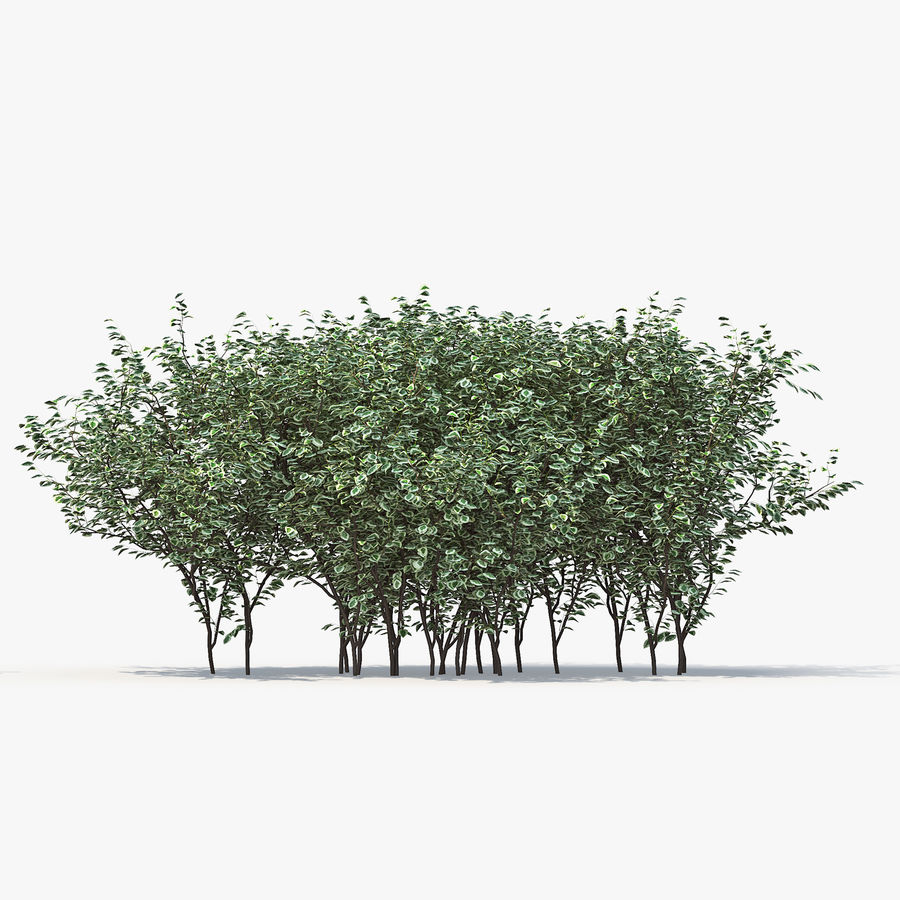 Boxwood (buxus) royalty-free 3d model - Preview no. 8