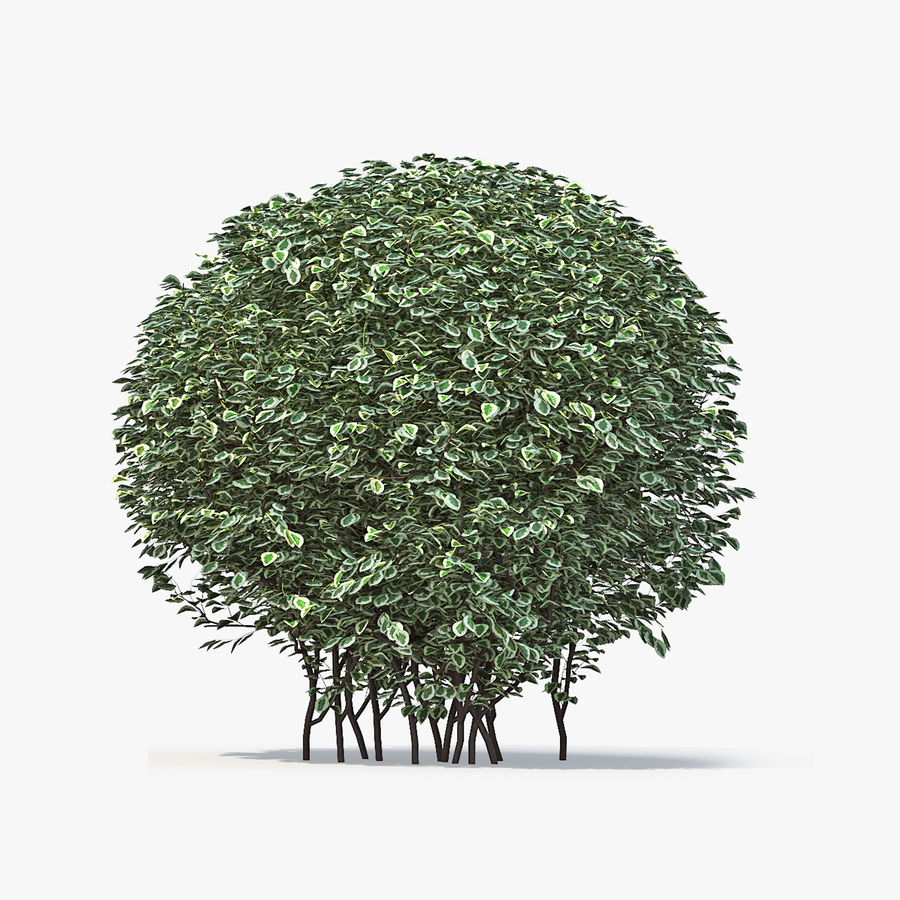 Boxwood (buxus) royalty-free 3d model - Preview no. 10