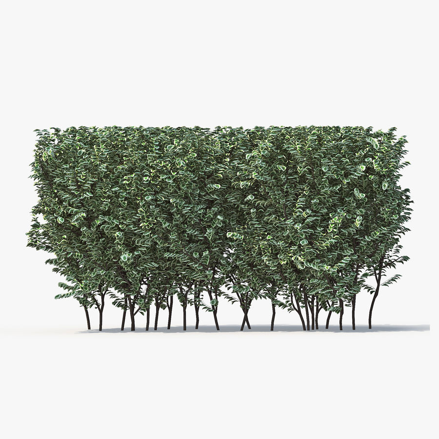 Boxwood (buxus) royalty-free 3d model - Preview no. 3