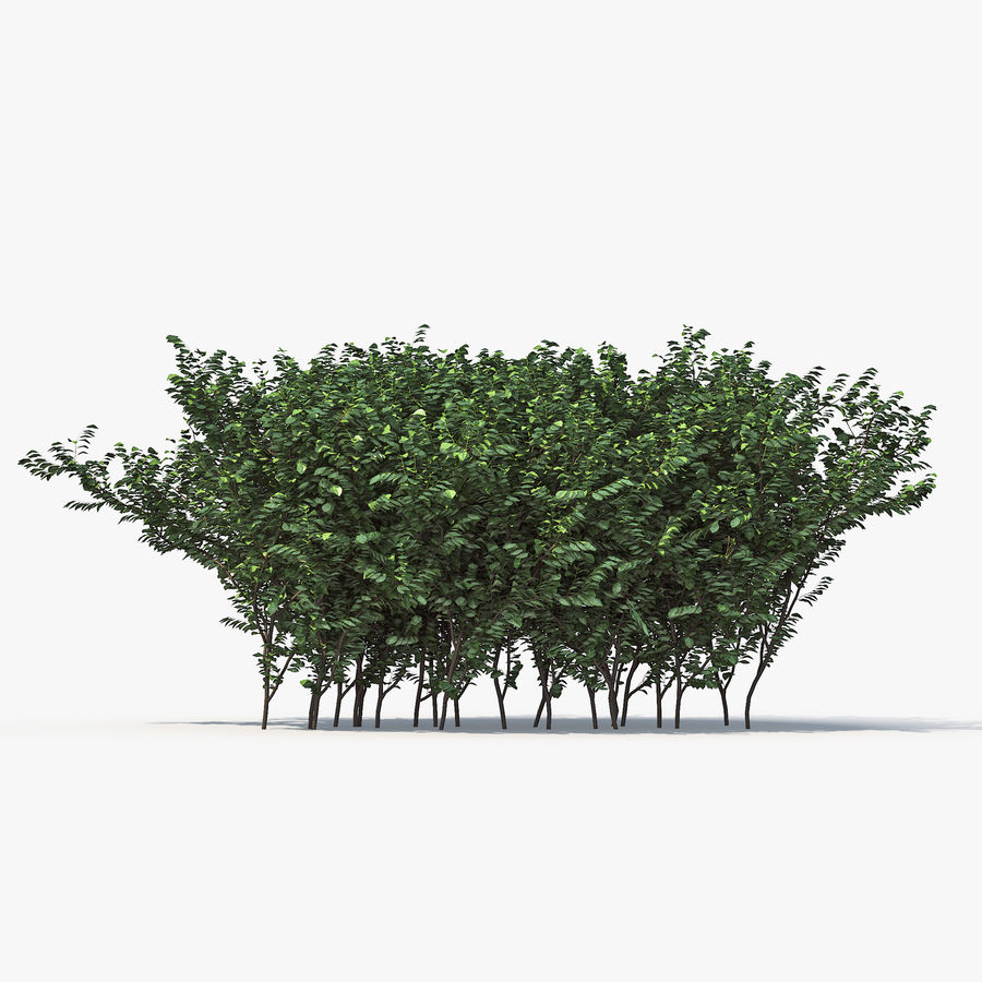 Boxwood (buxus) royalty-free 3d model - Preview no. 7