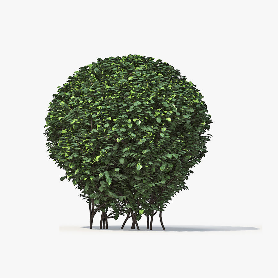Boxwood (buxus) royalty-free 3d model - Preview no. 9