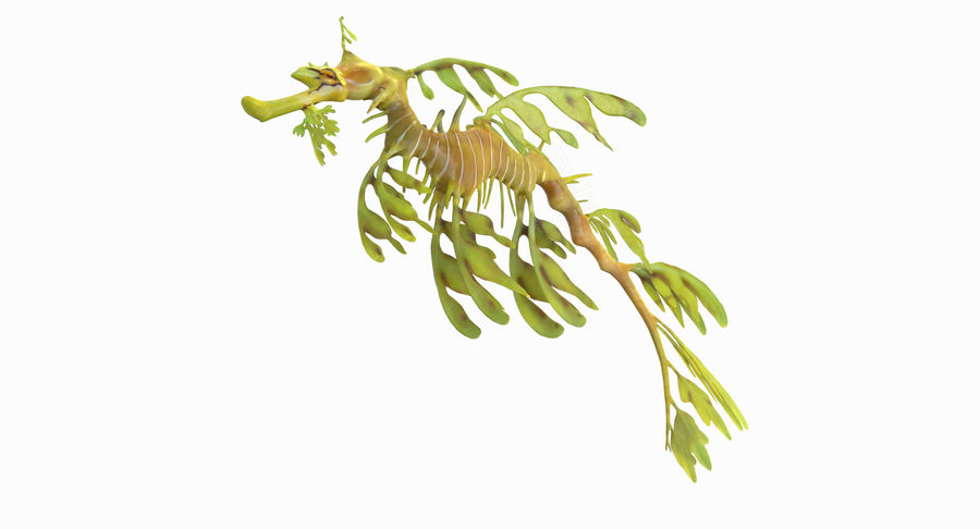 Leafy Sea Dragon royalty-free 3d model - Preview no. 10