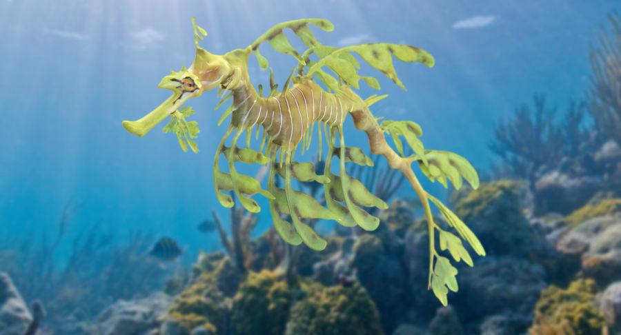 Leafy Sea Dragon royalty-free 3d model - Preview no. 3