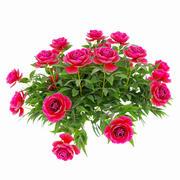 Rośliny piwonii 3d model