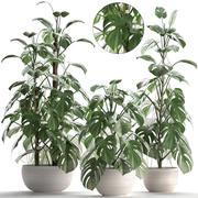 珍稀植物龟背竹 3d model
