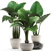 Collection Exotic plants alocasia 3d model