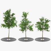 Street Tree 3d model