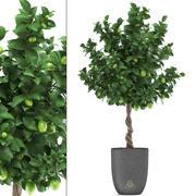 Лимонное дерево с фруктами 2 3d model