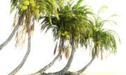 Animowany pakiet palmy kokosowej 12 3d model