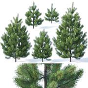 Pinus sylvestris #1 1-3m 3d model