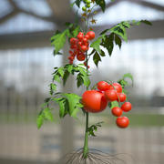 トマト 3d model