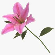 Lilium - Pink 3d model
