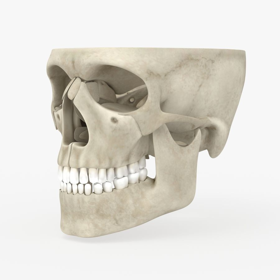 Skull Anatomy royalty-free 3d model - Preview no. 1