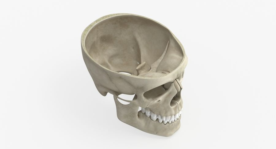 Skull Anatomy royalty-free 3d model - Preview no. 10