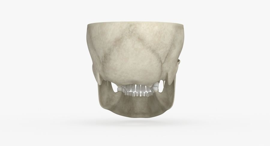 Skull Anatomy royalty-free 3d model - Preview no. 5
