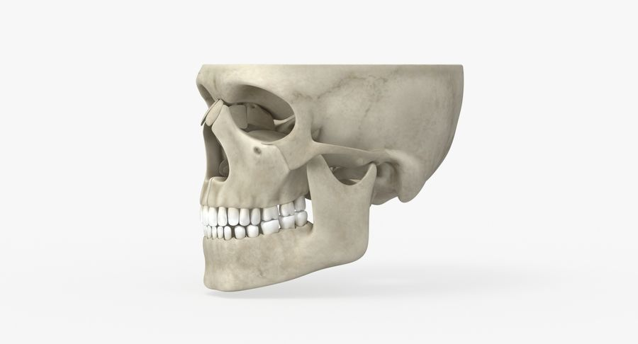 Skull Anatomy royalty-free 3d model - Preview no. 11