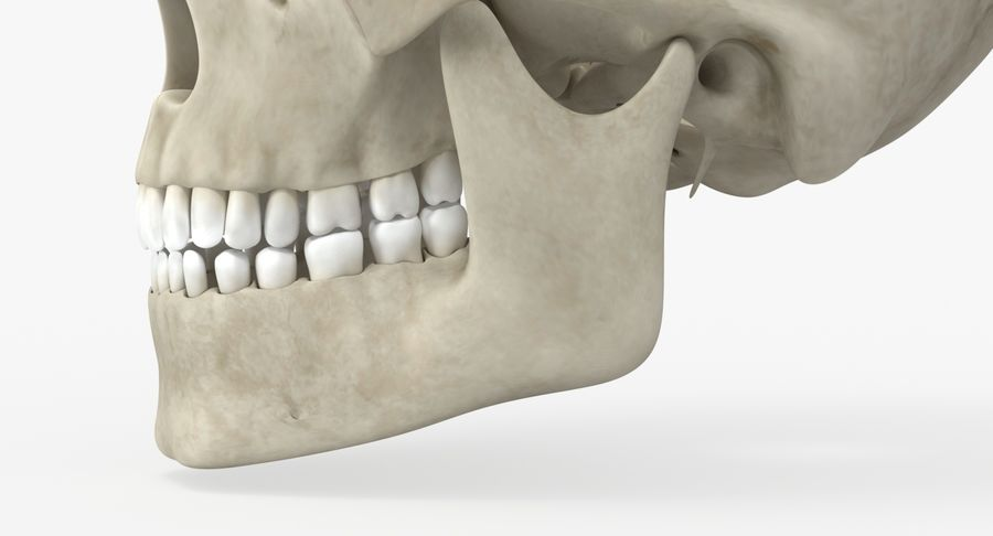 Skull Anatomy royalty-free 3d model - Preview no. 12